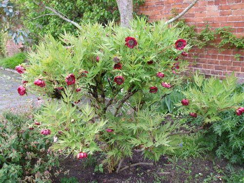 Tree peonie